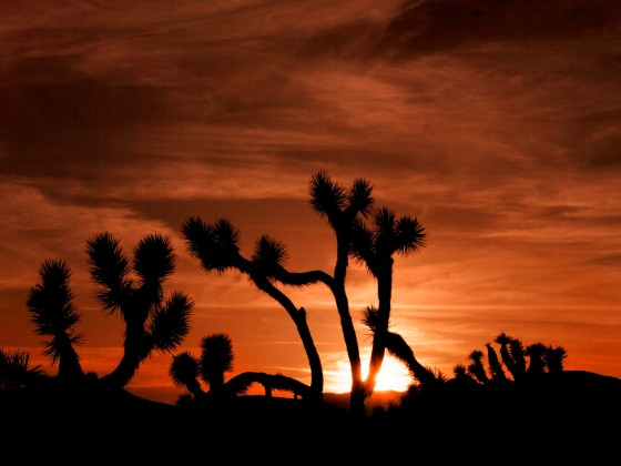 黃昏的Joshua Tree。Photo:David E. Anderson