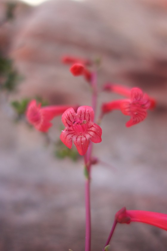 Penstemon. Photo: David E. Anderson
