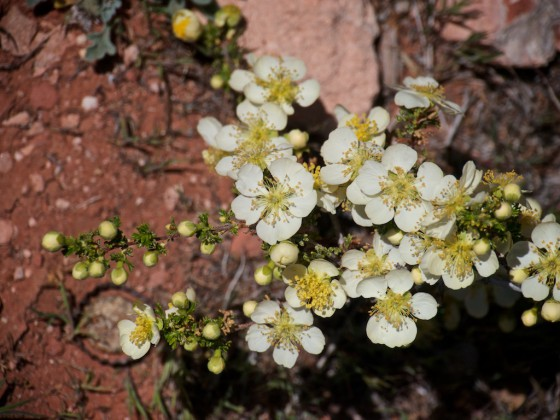 P1280933_bitterbrush_or_cliffrose
